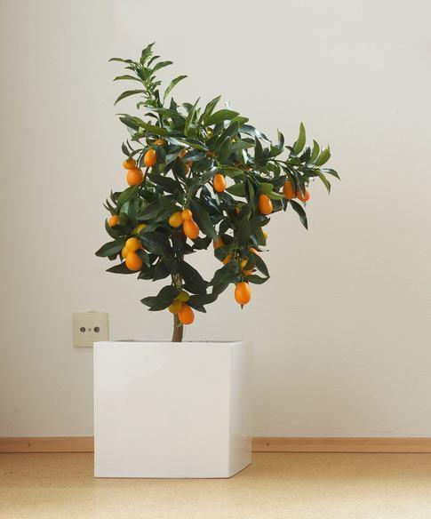 kumquat-vaso