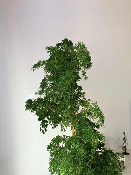 plantas-vasos-urban-jungle-arvore-da-felicidade