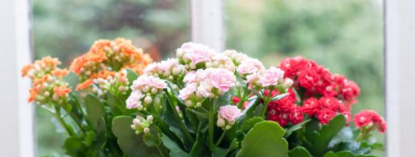 kalanchoe-calanchoe-flor-vaso-casa-janela-luz-sol-cultivo-cuidados
