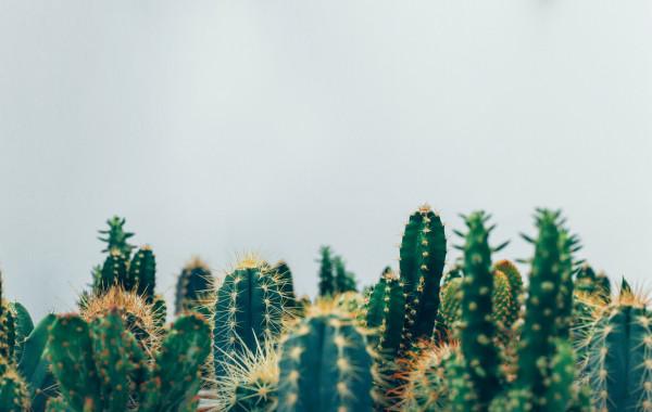 cactos-plantas